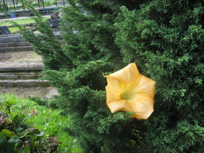 Bagaimana kalau pohon cemara memiliki bunga